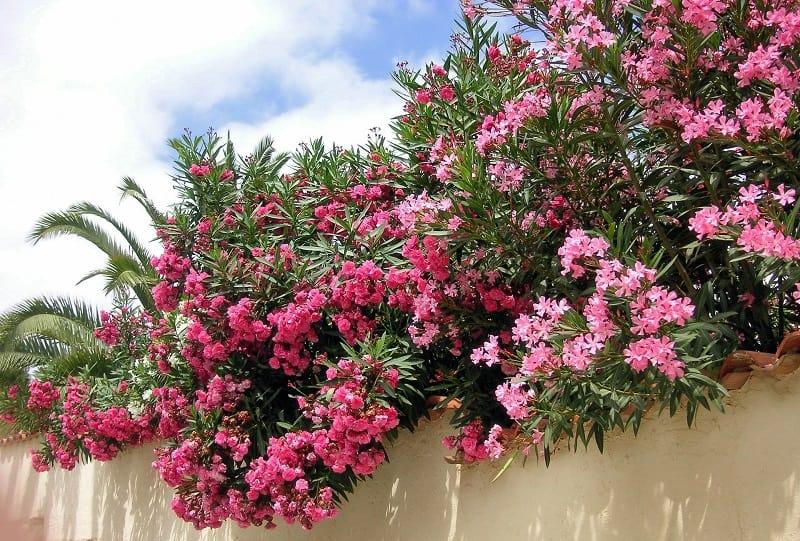 Jardin bord de bord - laurier rose
