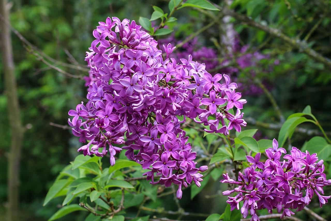 Plantation - lilas